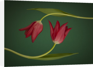 Two Tulips by Assaf Frank