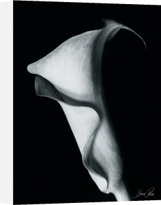 Arum Lily I by Bruce Rae