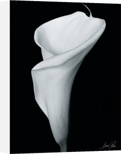 Arum Lily III by Bruce Rae