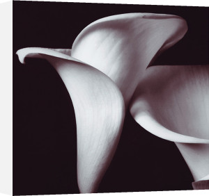 Lilies by Bill Philip