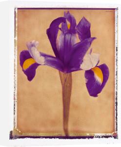 Iris by Scott Morrish