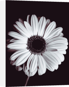 Gerbera by Bill Philip