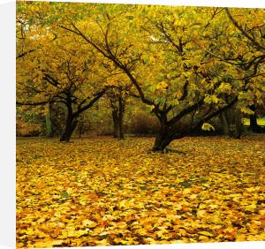 Prunus by Bent Rej