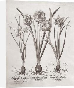 Botanical VI by Basilius Besler