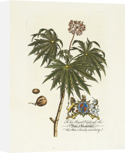 The Duke Of Cumberland Botanical by Georg Dionysus Ehret