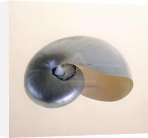 Polished Nautilus by Tom Artin