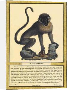 Monkey I by Tavola