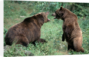 Brown bears fighting by Berndt Fischer