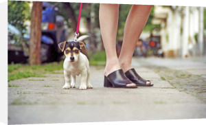 Jack Russell puppy by Heinz Krimmer