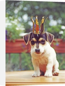 Jack Russell wearing a crown by Heinz Krimmer