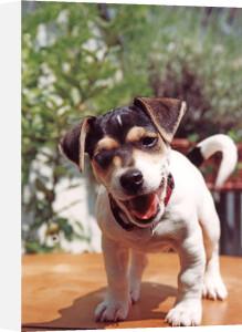 Puppy II by Heinz Krimmer