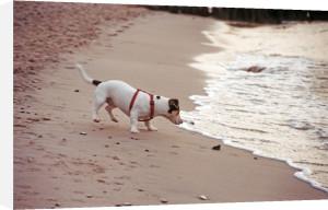 Dog on a beach II by Heinz Krimmer