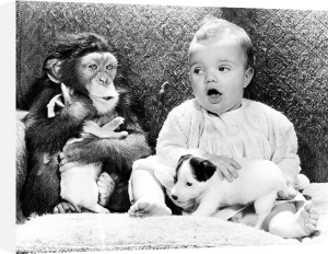 Chimp and baby with puppies by John Drysdale