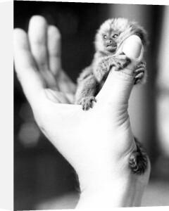 Tiny baby monkey by Herbert Gontek