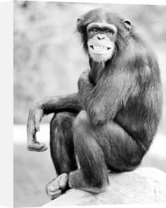 Cheerful chimpanzee by Walter Sittig