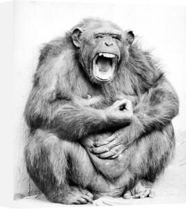 Chimp laughing by Walter Sittig