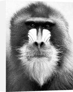 Portrait of baboon by Jochen Köhler
