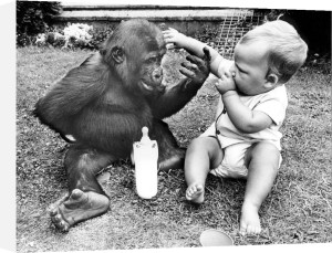 Baby and chimp argue over a bottle by John Drysdale