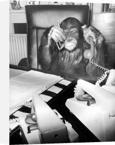 Chimp hard at work in the office by John Drysdale