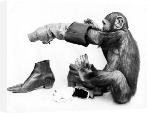 Chimpanzee polishing his boots by John Drysdale