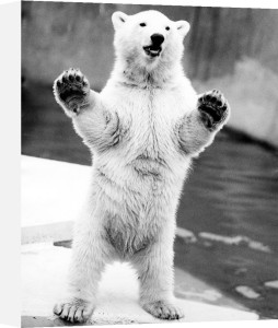 Polar bear standing on his hind legs by Walter Sittig