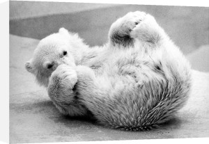 Little polar bear rolls on his back by Walter Sittig