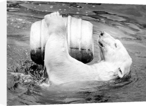 Polar bear playing with a keg in the water by Walter Sittig