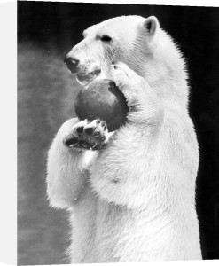 Polar bear playing with a ball by Walter Sittig