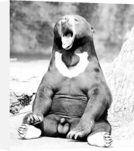 Bear yawning by Walter Sittig