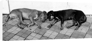 Dogs sleeping on the floor by Heinz Krimmer