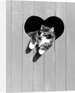 Kitten leaning through a heart-shaped window by Bernd Schellhammer