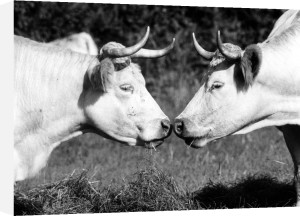 Two cows by Walter Sittig