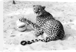 Cheetah playing with a ball by Walter Sittig