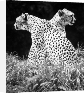 Two-headed' Cheetah by Walter Sittig