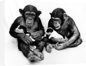 Chimpanzees cuddling puppies by John Drysdale