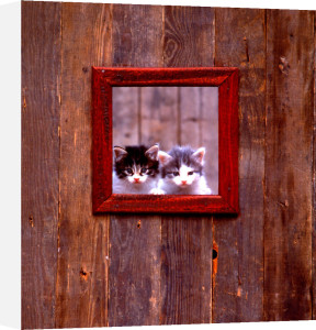 Kittens at window by Bernd Schellhammer