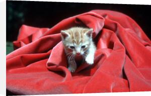 Cat in red velvet by Bernd Schellhammer