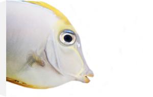 Surgeonfish by Heinz Krimmer