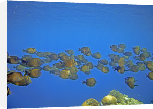 Surgeonfish, Egypt by Heinz Krimmer