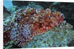 Bearded scorpionfish, Egypt by Heinz Krimmer