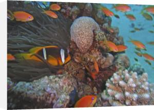 Orange fairy basslet and clownfish, Egypt by Heinz Krimmer