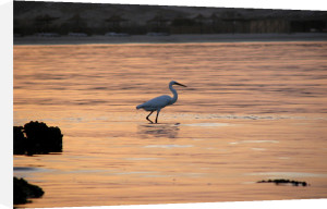 Heron hunting at sunrise, Egypt by Rosseforp