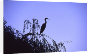 Egret in a tree by Heinz Krimmer