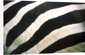 Zebra stripes by Rosseforp
