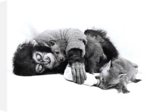 Monkey feeding fox cub by John Drysdale