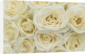 White roses by Rosseforp