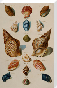 A Selection of Seashells, 1758 by Franz Michael Regenfuss