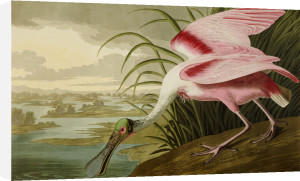 Roseate Spoonbill (Platalea Ajaja). The Birds Of America From Original Drawings by John James Audubon