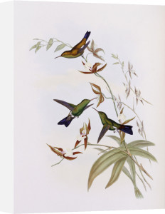 A Monograph Of The Trochilidae Or Family Of Hummingbirds by John Gould