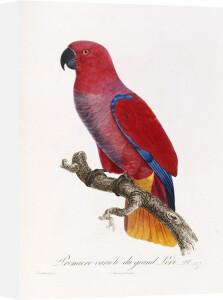 Histoire Naturelle des Perroquets, c.1801 by Francois Le Vaillant
